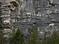 崖の上のヤギ06