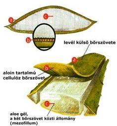 """Képtalálat a következőre: """"aloe vera növény használata"""""""