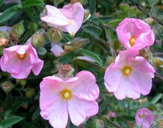 rock rose - Google Search