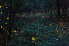 Hime Botaru (Princess) Fireflies Flicker in the Woods, Japan, 2013 by Takehito Miyatake. A flight of hime botaru fireflies, or princess fireflies, flicker together in a warm, orange hued light. Locals call them golden fireflies.