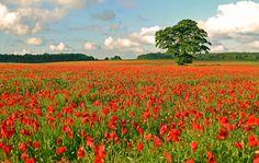 The Poppy Fields of Rutland by Andrew Dejardin on Champs, Landscape Photography, Poppies, Vineyard, Wallpaper, Flowers, Plants, Outdoor, Poppy Fields