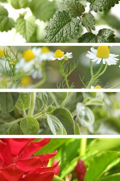 Healing plants you can grow at home: Want to create a natural pharmacy in your own backyard or in a small pot on your kitchen windowsill? Here's how.