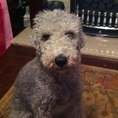I want a bedlington terrier so badly!