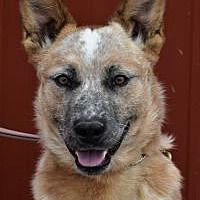 Pictures of Yodi a Australian Cattle Dog for adoption in Tinley Park, IL who needs a loving home. Tinley Park Illinois, Sleeping Puppies, Australian Cattle Dog, Working Dogs, Shih Tzu, Rescue Dogs, Pet Adoption, Most Beautiful Pictures, Dogs And Puppies