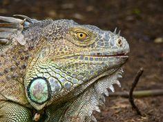 Tamarindo, Costa Rica Daily Photo: iguana profile