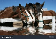 clydesdale horses for sale - Google Search                                                                                                                                                      More