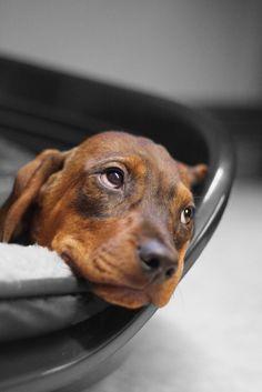 Hannoverscher Schweißhund mit 9 Wochen von Roman Kaßelmann