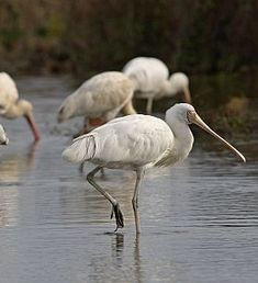 Yellow-billed Spoonbill -- The Yellow-billed Spoonbill is a large, white waterbird with a yellow face and spatulate (spoon-shaped) bill, and yellow legs and feet.
