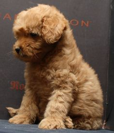 A sweet little Labradoodle pup