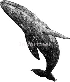 Pen and ink line art drawing of a Gray Whale (Eschrichtius Robustus)