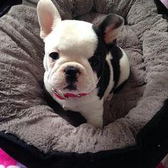 French Bulldog #frenchbulldogpuppy