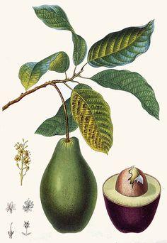 Pierre-Joseph Redouté~ Avocado