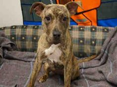 Macon-Bibb County Animal Welfare Page Liked · 48 mins · Edited ·    CHILI - ID#A252667  My name is CHILI.  I am a female, brown brindle and white Pit Bull Terrier.  The shelter staff think I am about 8 months old.  I have been at the shelter since Jul 13, 2015.