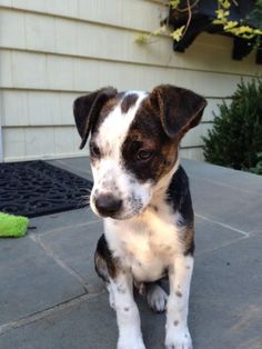 Petfinder  Adoptable | Hound | Dog | Flushing, NY | Jake