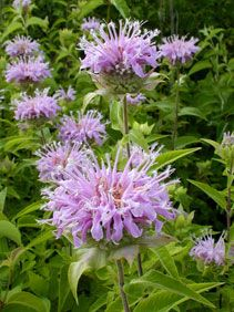 Kansas Wildflowers and Grasses - Wild bergamot Grasses, Farm Life, Wildflowers, Potted Plants, The Great Outdoors, Flower Pots, Kansas, Bloom
