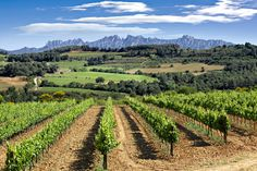 The Penedès vineyard has a long winemaking history and tradition. Catalonia