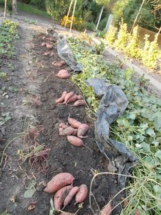 Így lesz tele a ker­ted édes­bur­go­nyá­val, rö­he­je­sen olcsó meg­ol­dás Diy Paper, Country Life, Vegetable Garden, Stepping Stones, Garden Sculpture, Backyard, Earth, Fruit, Vegetables