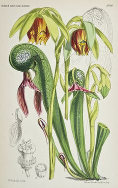 File:Darlingtonia californica c.jpg