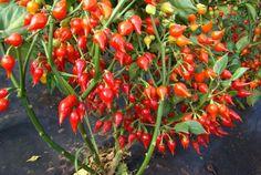 A pimenta biquinho é bem fácil de plantar :) #plantar #horta #pimenta