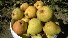 Pick up fresh pear in the garden : มาค่ะ ลูกแพร์ เยอะมากๆ