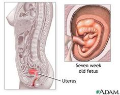Cross Section of a Pregnant Woman. #medicalillustration ...
