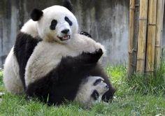 Pandas Rolley Polley Panda playing