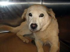 Paisley: Retriever/spitz beauty is out of time at high-kill upstate shelter
