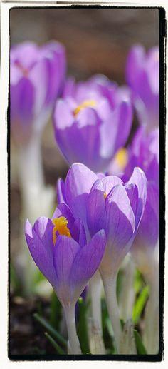Crocus March bloom