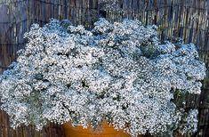 La gysophile, plante vivace ou annuelle du jardin d'ornement aux fleurs blanches. Du semis à la floraison, les conseils de culture.