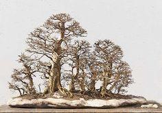 Hornbeam forest - Walter Pall collection...