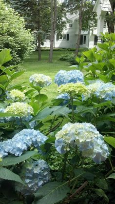 Our blue and green hydrangea
