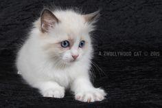 7 Week oud. Ragdoll Lady Sif, Cats, Animals, Fluffy Animals, Gatos, Animales, Kitty Cats, Animaux, Animal Memes