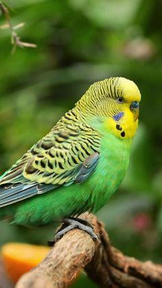 Green Budgie.(Budgerigar) Australian native bird.