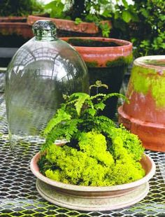 glass looks nice with terracotta plate underneath filled with small terrarium plants. Dish Garden, Glass Garden, Garden Pots, Moss Terrarium, Terrarium Plants, Small Terrarium, Succulents In Containers, Succulents Garden, Indoor Garden