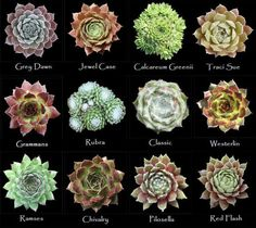 Assorted types of succulents Types Of Succulents, Growing Succulents, Succulents In Containers, Cacti And Succulents, Planting Succulents, Planting Flowers, Identifying Succulents, Sempervivum, Echeveria