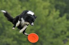 border collie frisbee dog | border collie jumps to catch a Frisbee during the European Disk Dog ...