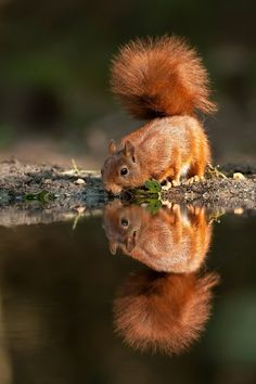 squirrel reflection