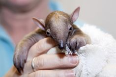 Keepers and veterinarians are helping to raise a baby Tamandua, born on March 7 at Denver Zoo.