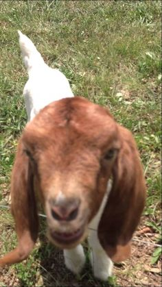 """An adorably chatty baby goat appears to be saying """"what, what,"""" as if in conversation with her very encouraging human, Dusty Belew. This is the original what what goat video. I took it, my stepdaug..."""
