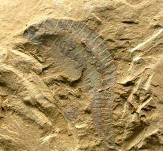 Hemichordata; Yannanozoon lividum  Geological Time: Early Cambrian (~525 million years ago)  Size: 23 mm long on a 75 mm by 65 mm matrix  Fossil Site: Chengjiang Maotianshan Hill, Quiongzhusi Section, Yu'anshan Member, Heilinpu FormationYuxi, Chengjiang County, Yunnan Province, China