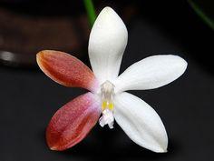 Phalaenopsis phal Tetraspis | Thema: Phalaenopsis tetraspis C1 bei e... - fragwürdig ?