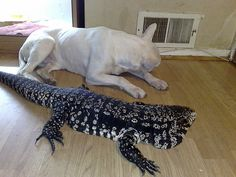 This is what the bf wants, a Black and White Tegu. The closest reptiles to dogs, responding to their names and begging for attention. They eat just about everything.