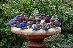 So Many Blue Birds!  This Must Be A Very Special Fountain