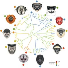 Using facial recognition software, researchers mapped out the faces of 129 species of New World monkeys and rated them by the complexity of their colors. Then they looked for patterns in the primates' lifestyles. Monkeys who live in small groups or alone tended to have more complex faces (indicated by red labels) than those who live in large groups, who tended to have simpler faces (blue lines).