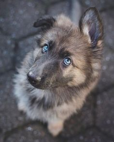 Dogs are the most favorite pets in the world. There are so many people are asume that dogs are part of their family. Here are Cutest Dog Breeds in the World. Cute Dogs Breeds, Cute Dogs And Puppies, Dog Breeds, Puppies Tips, Baby Puppies, Baby Dogs, Shepherd Puppies, German Shepherd Dogs, German Shepherds