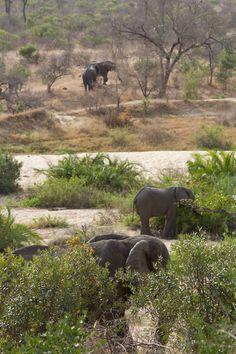 Elephants in the Kruger Park.  #KrugerElephants #Elephants