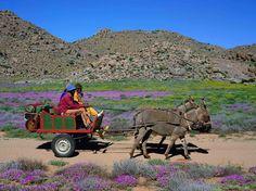 Donkey cart near Springbok, Northern Cape, South Africa Jamaica History, South Afrika, My Land, Beautiful Horses, Landscape Photos, African Art, Farm Animals, Egypt, Scenery