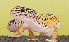 The Leopard Gecko » Everything About Leopard Geckos