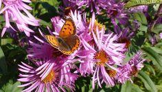 Schmetterling auf Herbstastern