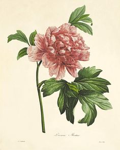 Gorgeous botanical illustration by Pierre-Joseph Redoute (1759-1840) who was the official court artist to Queen Marie Antoinette. It comes from the French book published in the 1800's. This print is digitally enhanced with some odd blemishes left to enhance its antique look.